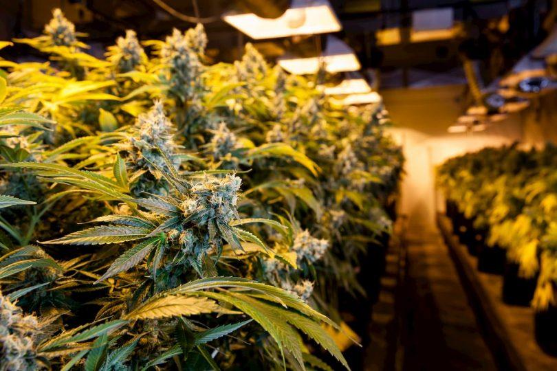 culture de cannabis en intérieur