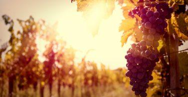 achat cep de vigne
